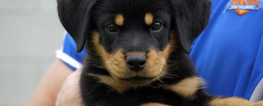 "Rottweiler Puppies for Sale – ""C"" Litter"