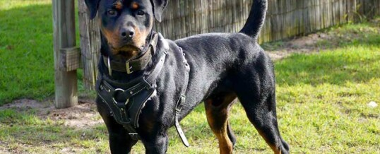 Young Male Rottweiler For Sale