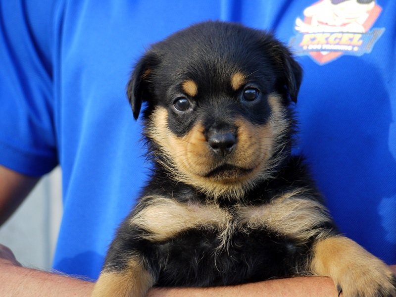 Rottweiler Puppies for Sale - 'F' Litter - Brisbane Dog ...